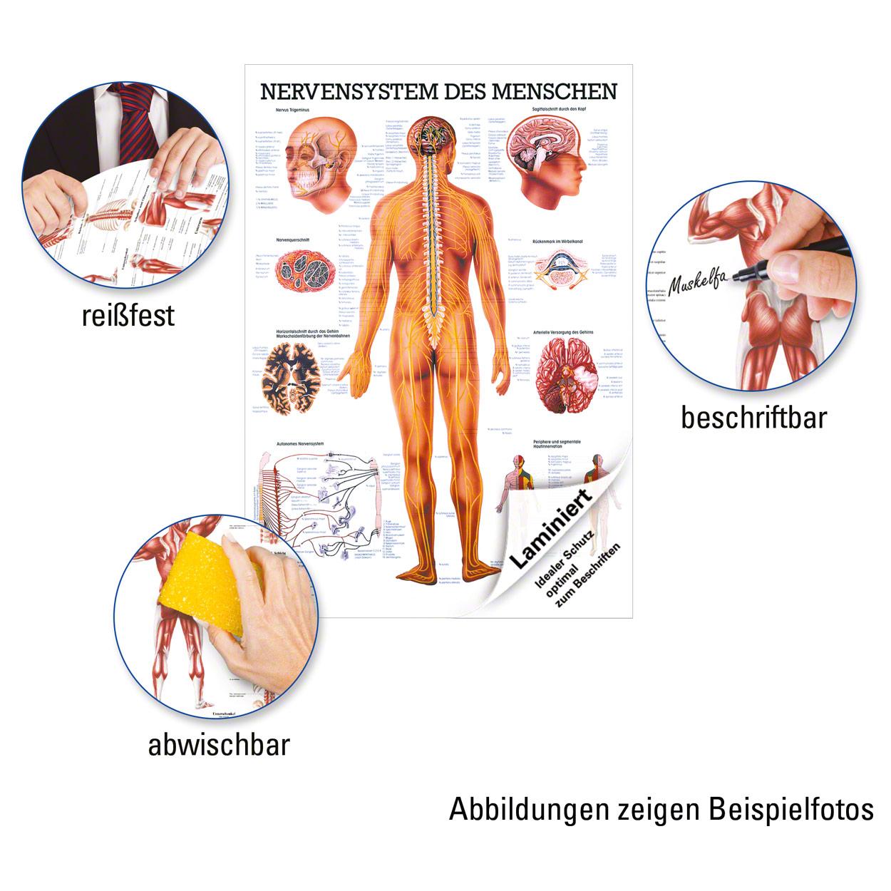 Nervensystem Poster Anatomie 70x50 cm medizinische Lehrmittel | eBay