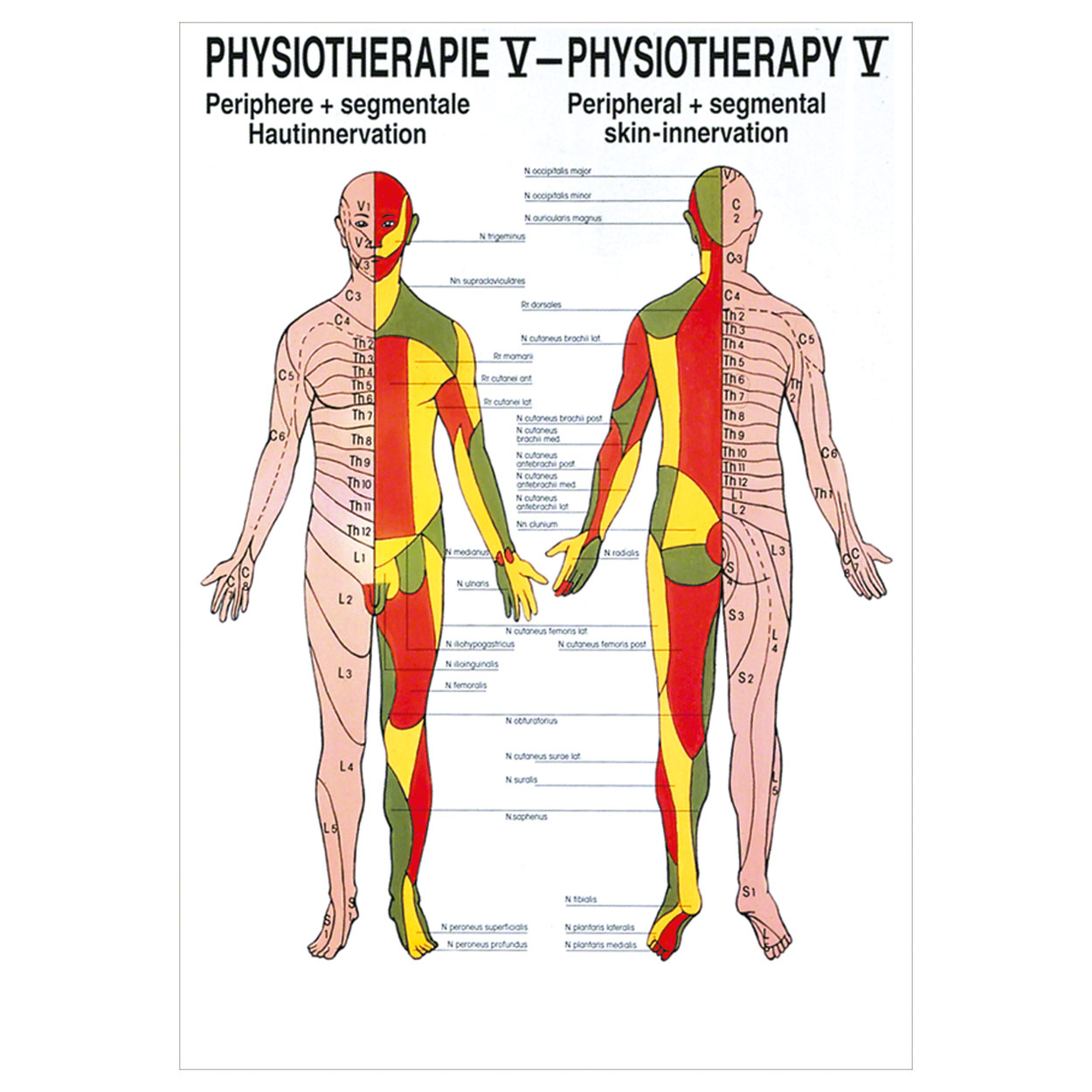 Hautinnervation Poster Anatomie 70x50 cm medizinische Lehrmittel | eBay