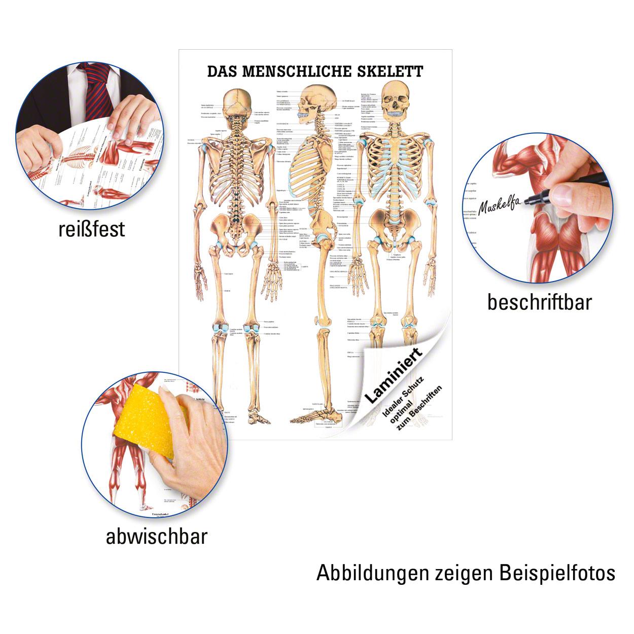 Das menschliche Skelett Poster Anatomie 70x50 cm medizinische ...