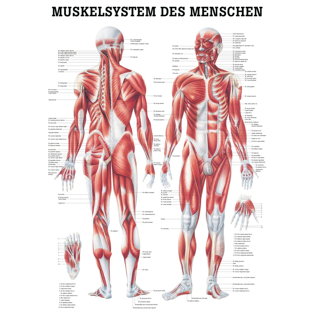 Muskelsystem Poster Anatomie 70x50 cm medizinische Lehrmittel | eBay