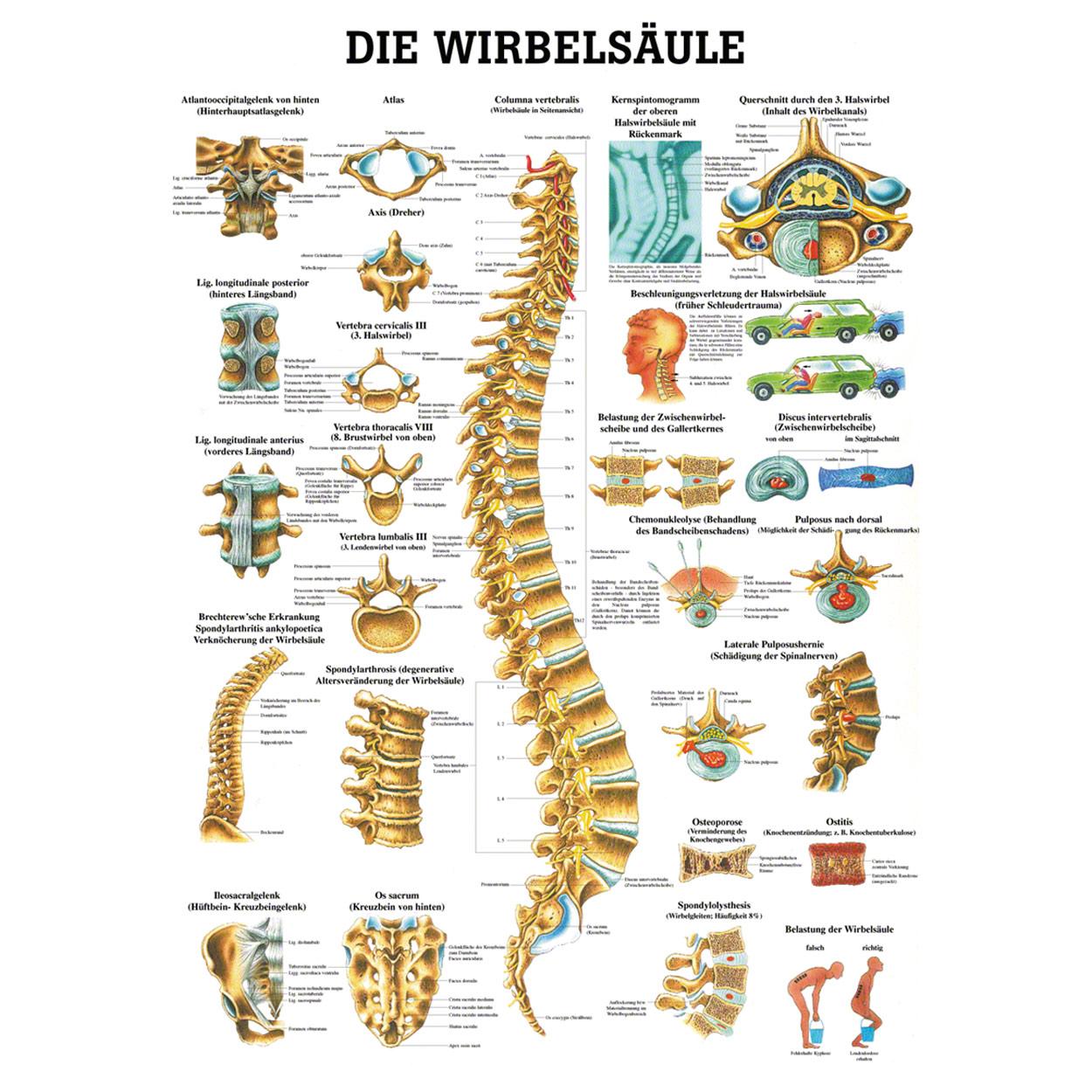 Wirbelsäule Poster Anatomie 70x50 cm medizinische Lehrmittel | eBay