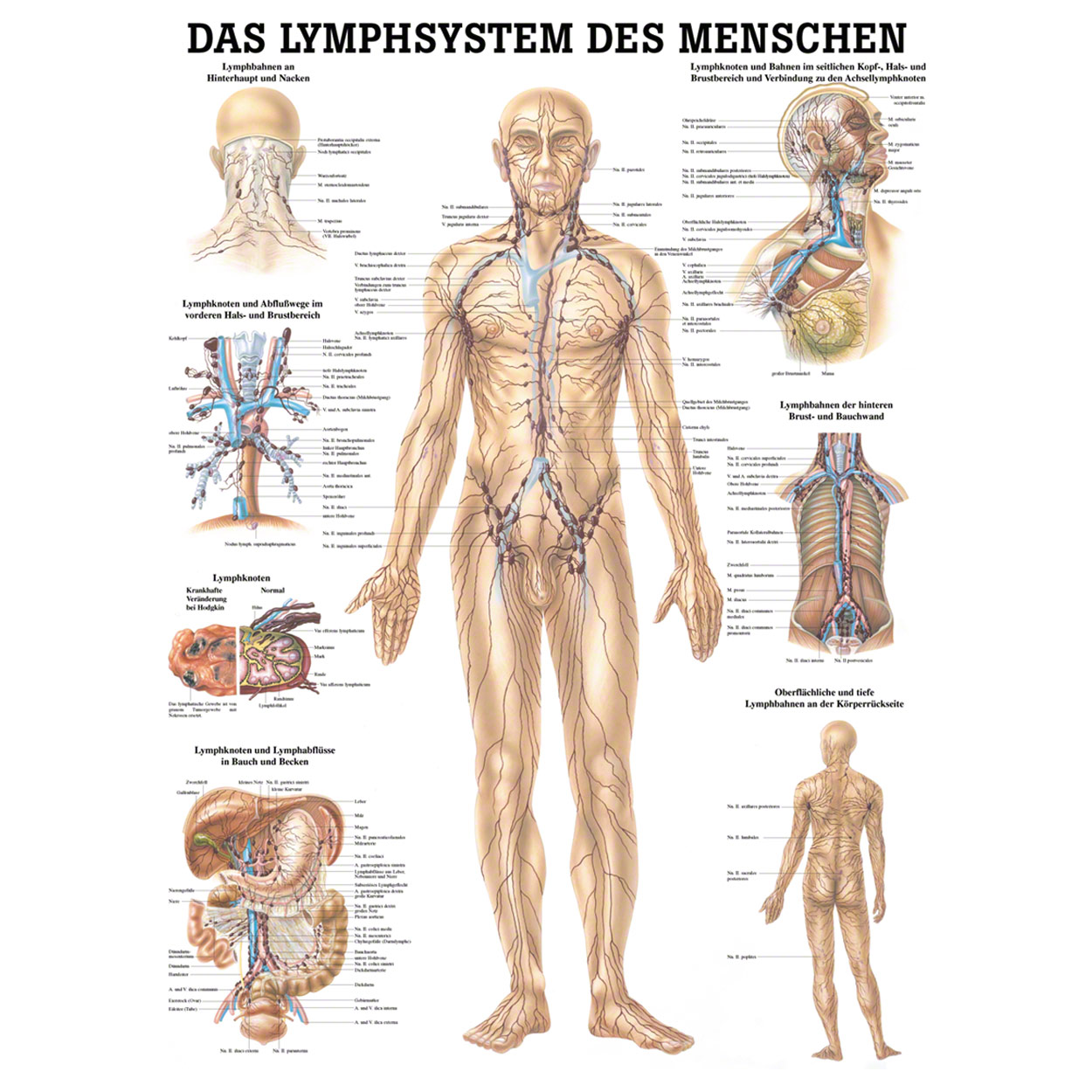 Lymphsystem Poster Anatomie 70x50 cm medizinische Lehrmittel | eBay