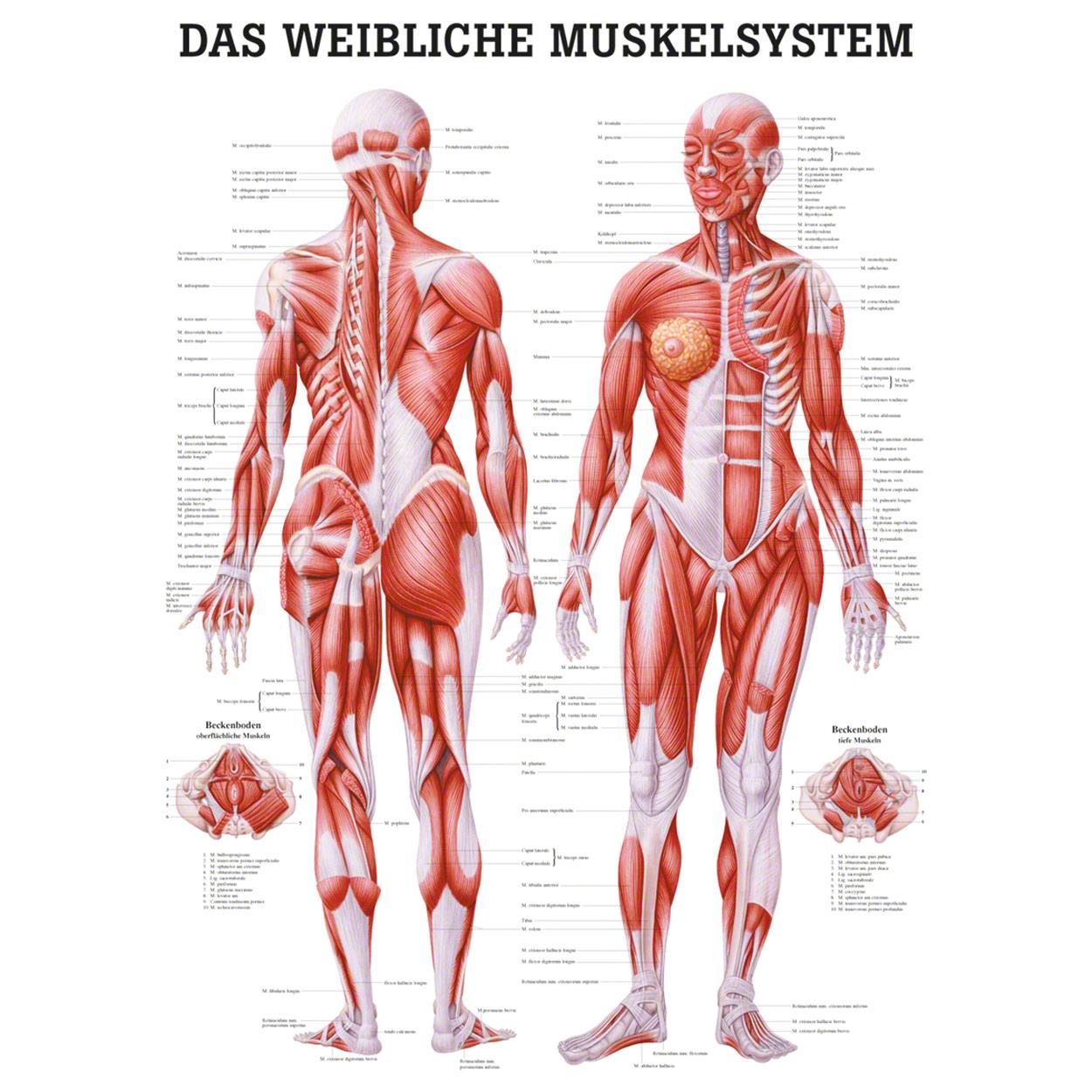 Weibliches Muskelsystem Poster Anatomie 70x50 cm medizinische ...