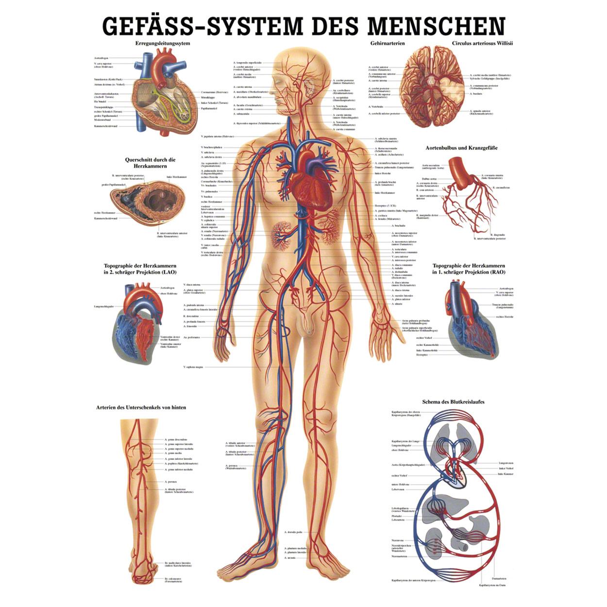 Ziemlich Anatomie Des Menschen Zurück Organe Ideen - Anatomie Ideen ...