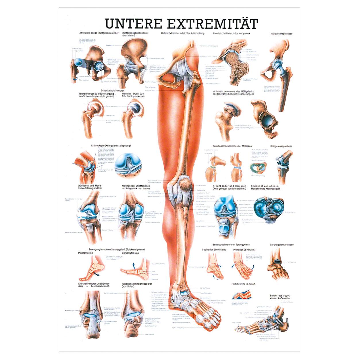 Atemberaubend Anatomie Der Unteren Extremität Muskeln Fotos ...