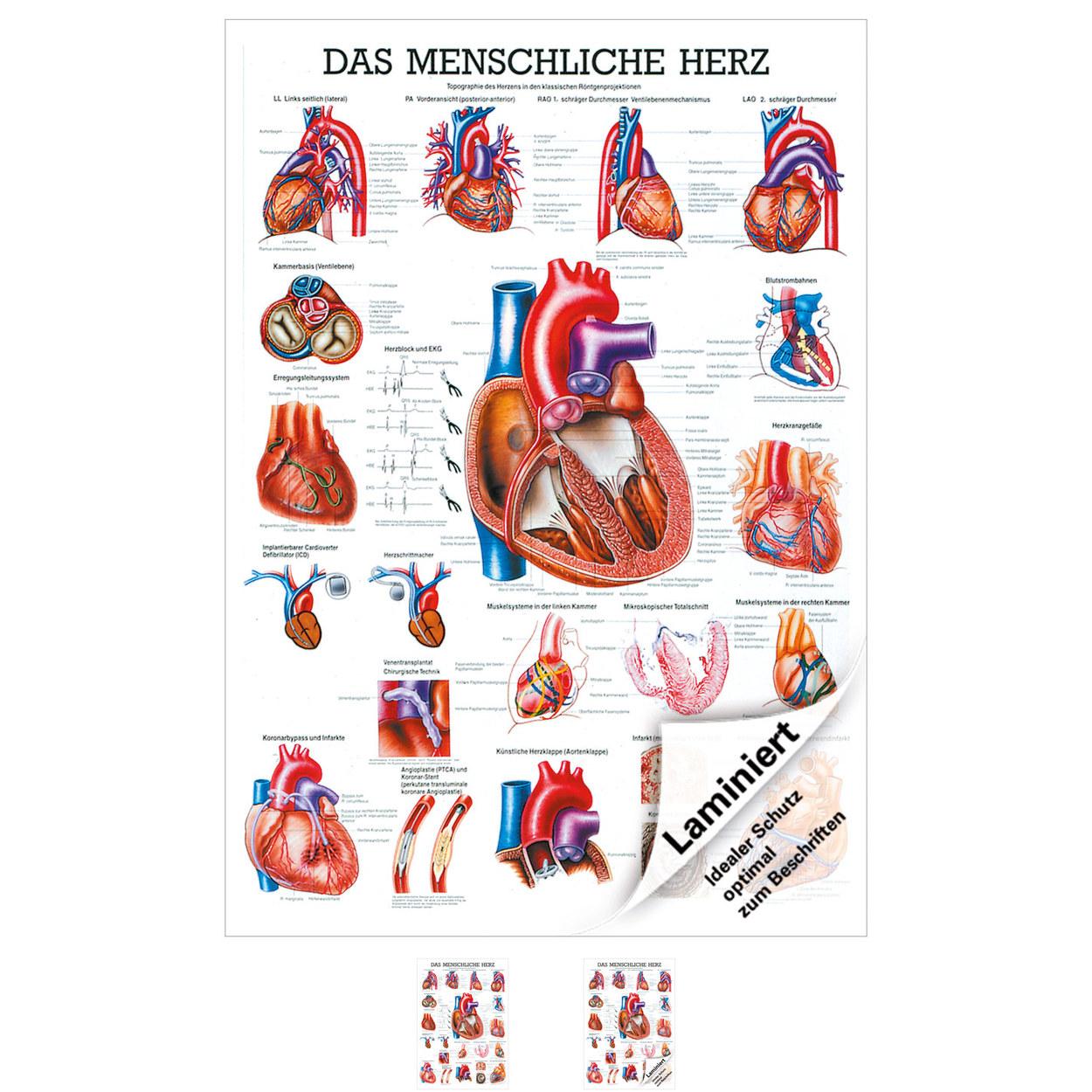 Das Herz Mini-Poster Anatomie 34x24 cm medizinische Lehrmittel | eBay