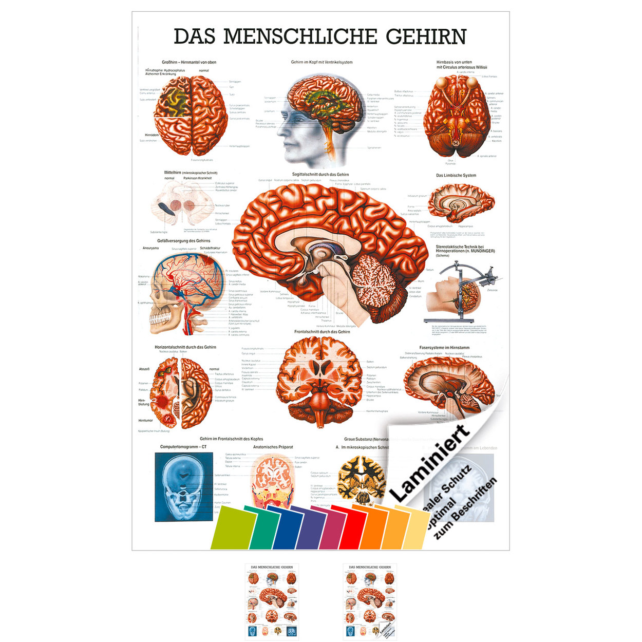 Gehirn Mini-Poster Anatomie 34x24 cm medizinische Lehrmittel | eBay