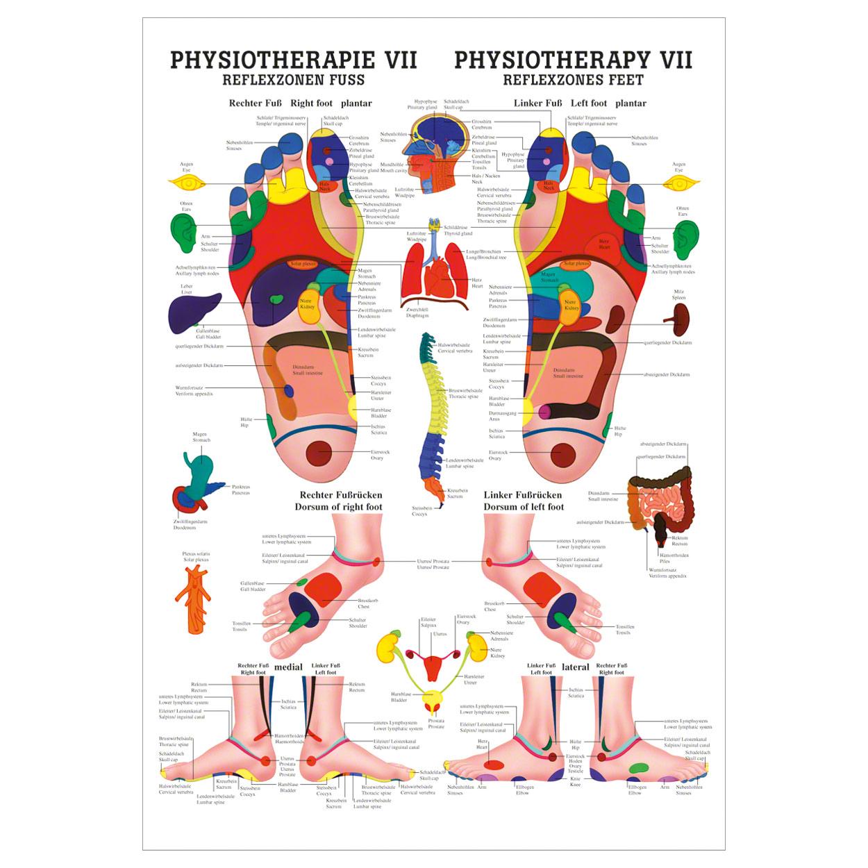 Reflexzonen Fuss Mini-Poster Anatomie 34x24 cm medizinische ...