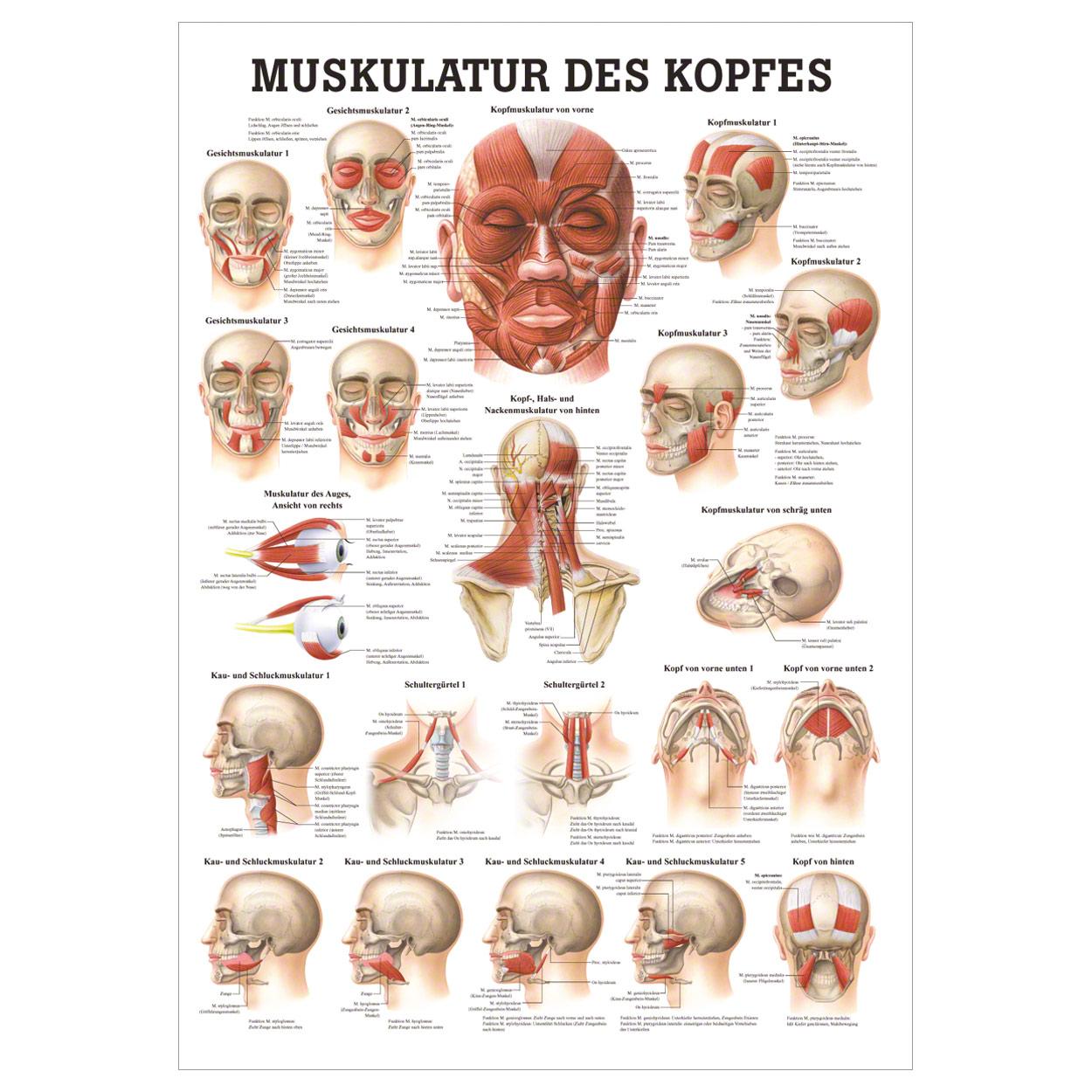 Muskulatur des Kopfes Mini-Poster Anatomie 34x24 cm medizinische ...