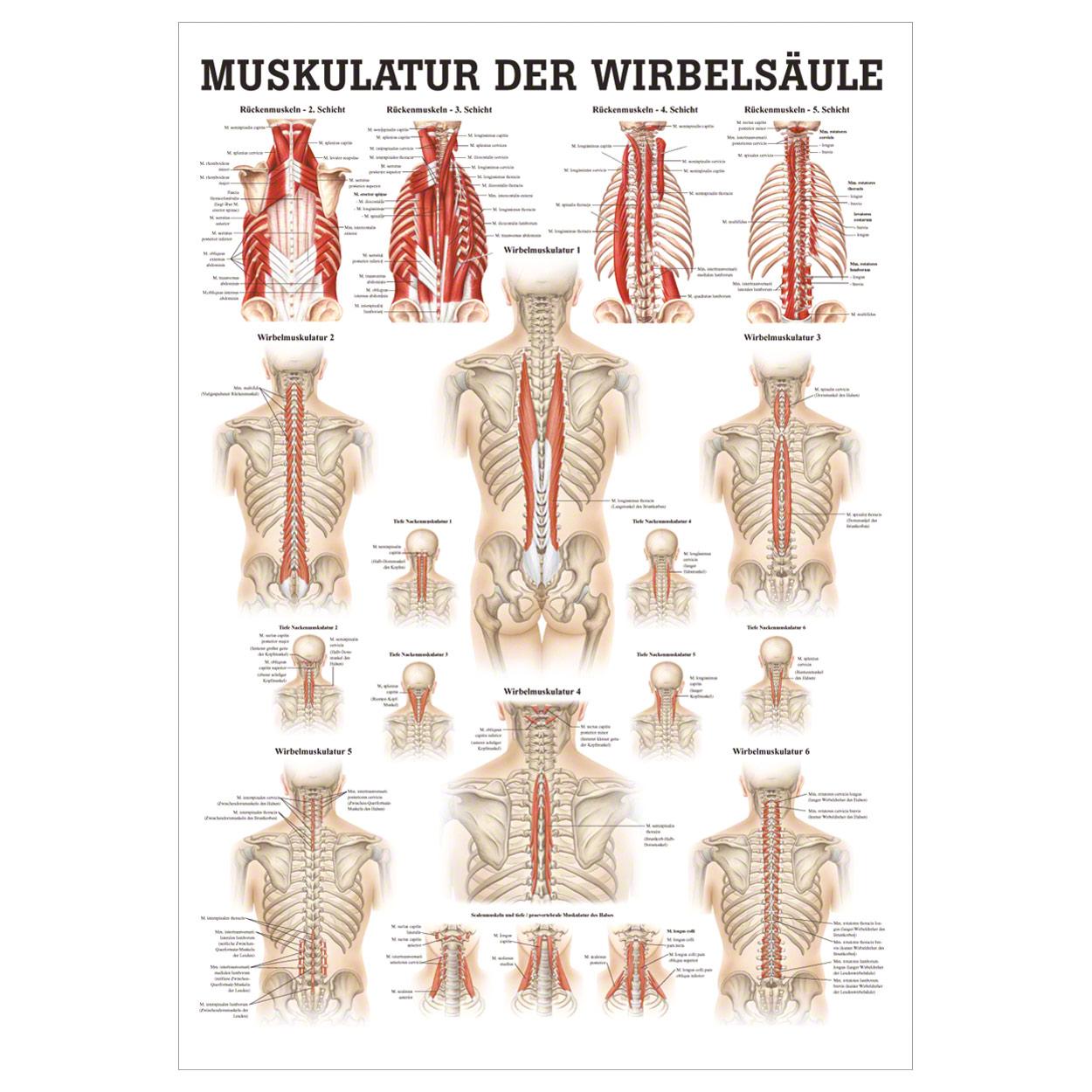 Muskulatur der Wirbelsäule Mini-Poster Anatomie 34x24 cm ...