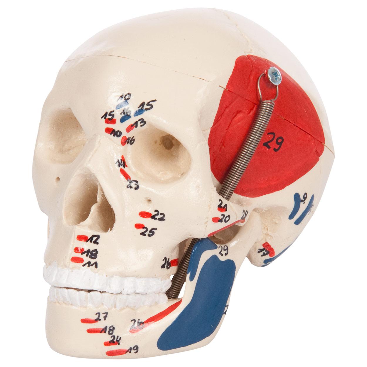 Mini-Schädel mit Muskeldarstellung 3-tlg., Anatomie Modell, Med ...