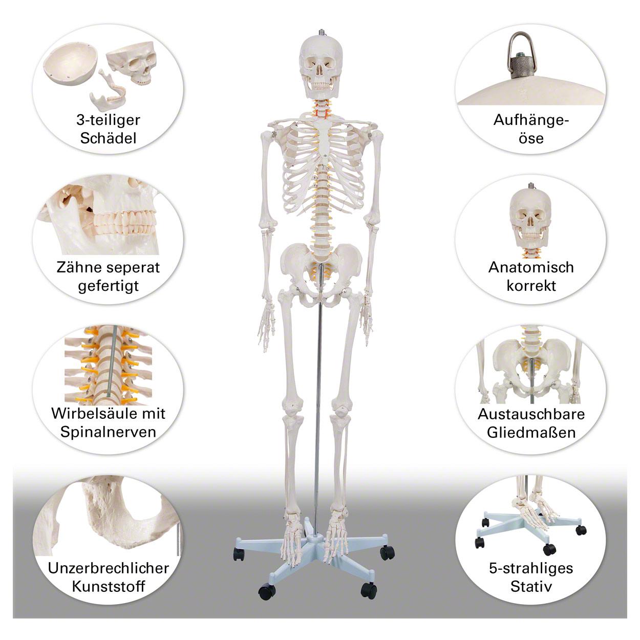 Fantastisch Tieranatomie Modell Fotos - Physiologie Von Menschlichen ...
