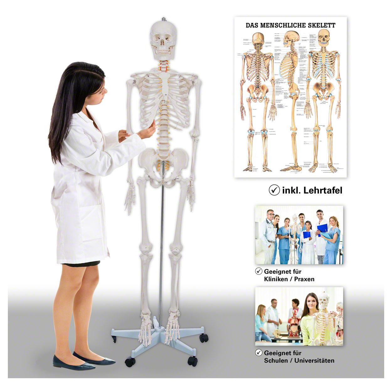 Skelett Oscar inkl. Stativ, 178 cm und Lehrtafel \