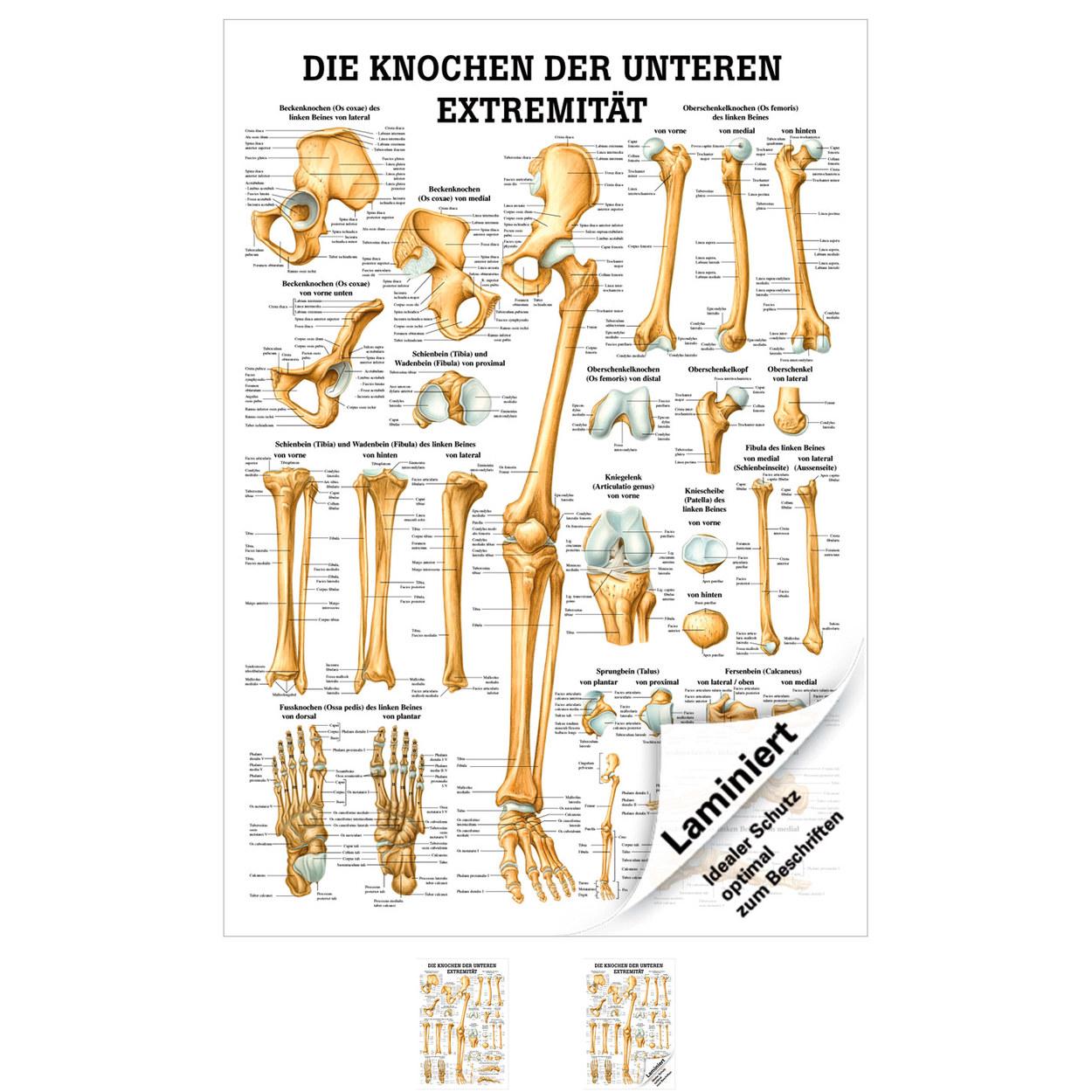 Die Knochen der unteren Extremität Mini-Poster Anatomie 34x24 cm med ...