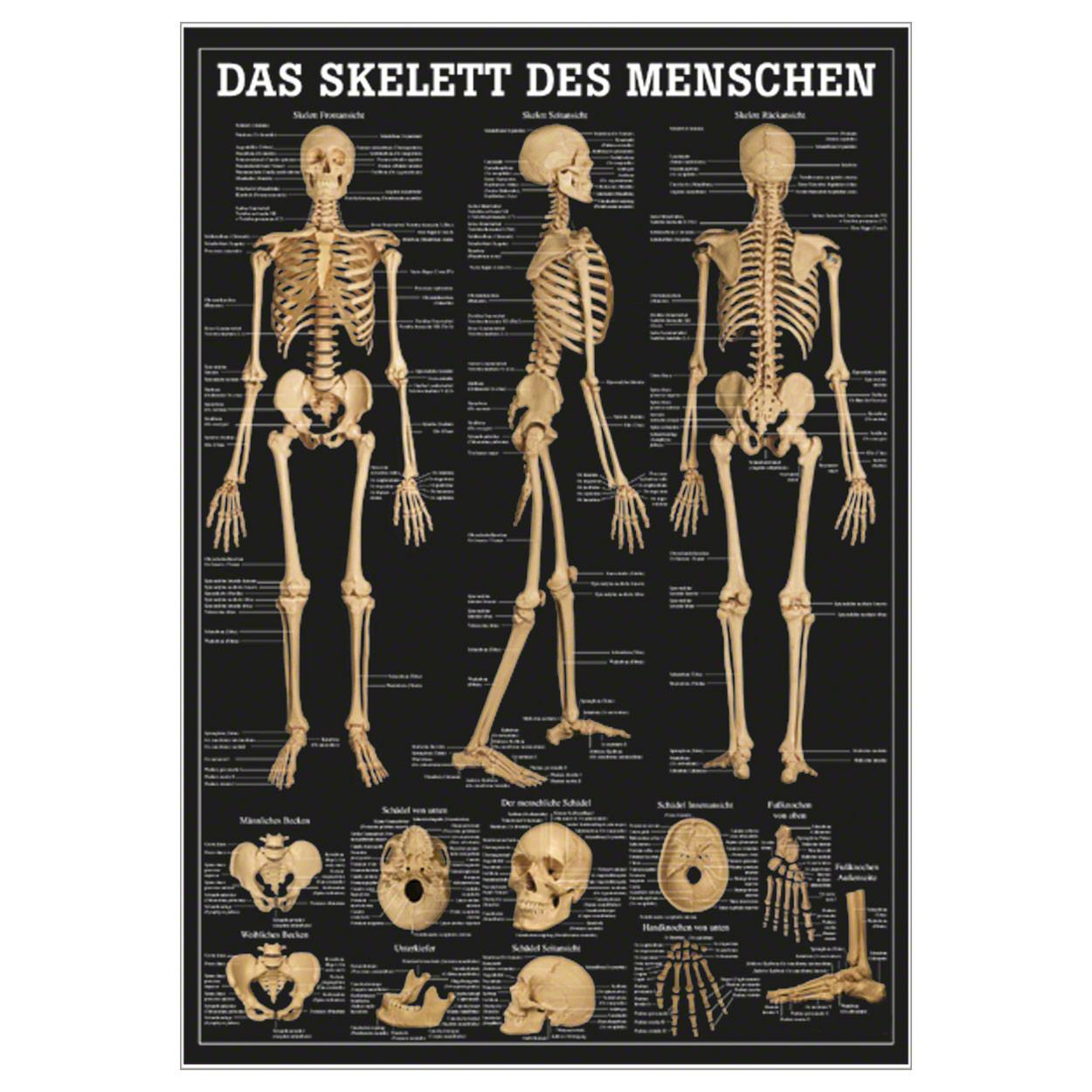 Das Skelett des Menschen Mini-Poster Anatomie 34x24 cm medizinische ...