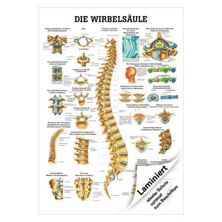"""Lehrtafel """"Die Wirbelsäule"""", LxB 100x70 cm 25012"""