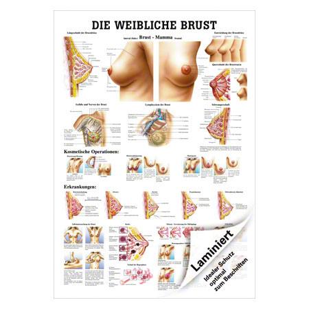 """Lehrtafel """"Weibliche Brust"""", LxB 100x70 cm 25060"""