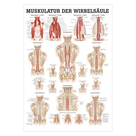 """Poster """"Muskulatur der Wirbelsäule"""", LxB 70x50 cm 25094"""