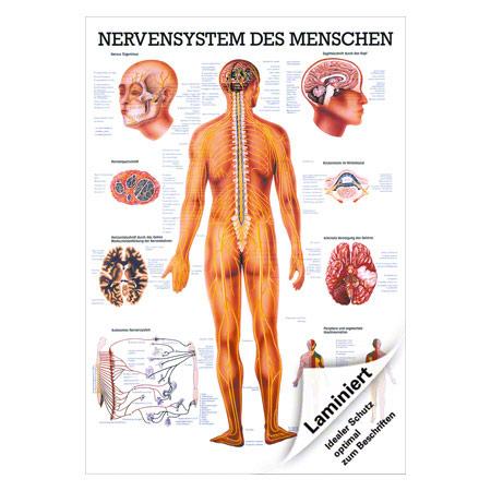 "Poster ""Nervensystem"", LxB 70x50 cm"