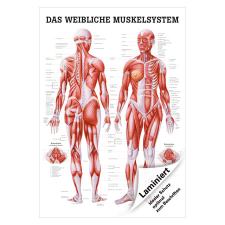 """Poster """"Weibliches Muskelsystem"""", LxB 70x50 cm 25121"""