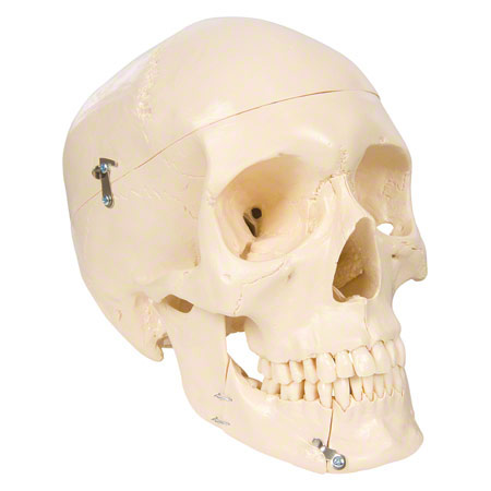 Anatomisches Modell Schädel, 4-tlg. 25170