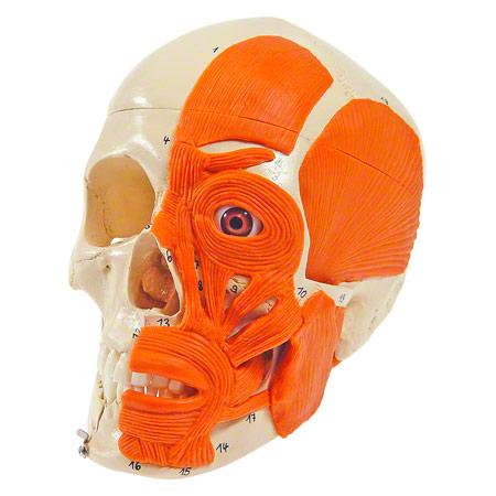 Schädel mit Muskel, 3-tlg. 25175