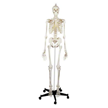 Skelett Standard inkl. Stativ, 180 cm 25190