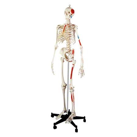 Skelett mit Muskeldarstellung inkl. Stativ, 180 cm 25192
