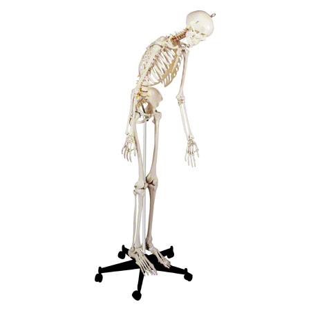Skelett inkl. Stativ, 180 cm, flexibel 25194