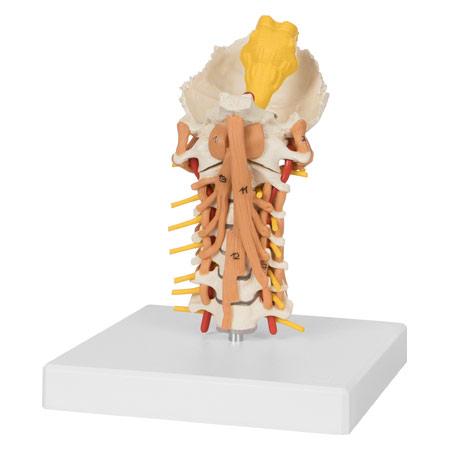 Halswirbelsäule mit Halsmuskulatur, LxHxB 25x10x18 cm 25211