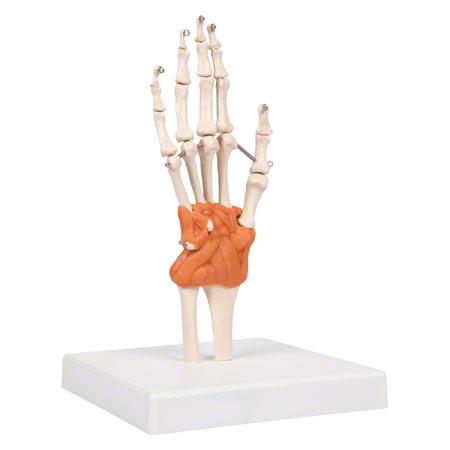 Handgelenk, LxBxH 8x8x35,5 cm - Sport-Tec.de: Extremitäten Shop