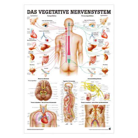 Mini-Poster Vegetatives Nervensystem, LxB 34x24 cm