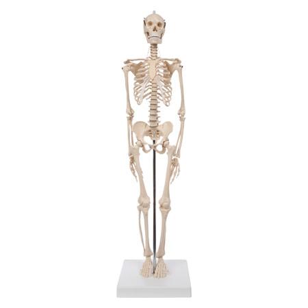 Mini-Skelett inkl. Stativ, 65 cm - Sport-Tec.de: Skelette Shop