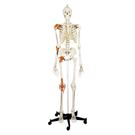 Skelett Super mit Gelenkbändern inkl. Stativ, 180 cm - Sport-Tec.de ...