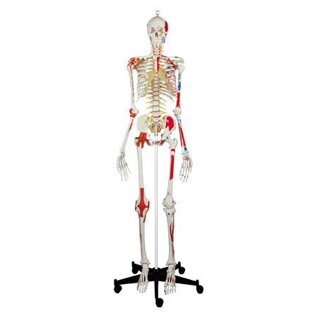 Skelett Super mit Gelenkbändern und Muskeldarstellung inkl. Stativ ...